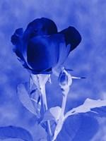 Cobalt Rosebud Fine Art Print