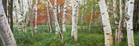 White Birch Trees In Wild Gardens Of Acadia, Acadia National Park, Maine Fine Art Print