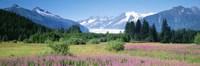Fireweed, Mendenhall Glacier, Juneau, Alaska Fine Art Print
