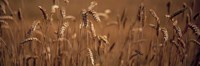 Detail Wheat Fine Art Print