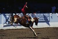 Saddle Bronc Rider Fine Art Print