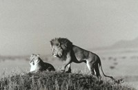 Lion And Lioness On A Hill Fine Art Print