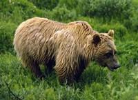 Rain-Soaked Grizzly Bear In Grass, Profile, Denali National Park, Alaska Fine Art Print
