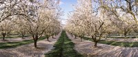 Almond Trees In An Orchard, Central Valley, California Fine Art Print