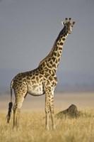 Masai Giraffe Standing In A Forest, Kenya Fine Art Print