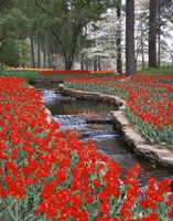 Red Tulips And Brook In Hodges Gardens, Louisiana Fine Art Print
