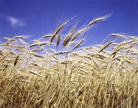 Close-Up Of Heads Of Wheat Stalks Against Blue Sky Fine Art Print
