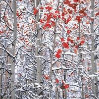 Snow Covered Aspen Trees Fine Art Print