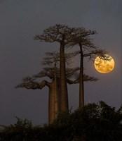 Baobabs And Moon, Morondava, Madagascar Fine Art Print
