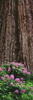 Blooming Rhododendron Below Giant Redwood, Trinidad, California Fine Art Print
