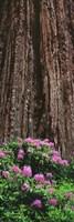 Blooming Rhododendron Below Giant Redwood, Trinidad, California Fine Art Print