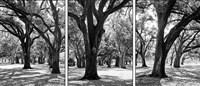 Oak Tree Study Fine Art Print