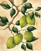 Italian Harvest - Limes Fine Art Print