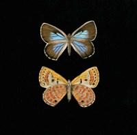 Pair of Butterflies on Black Fine Art Print
