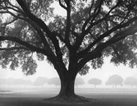 Silhouette Oak Fine Art Print