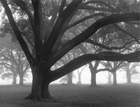 Oak Grove in Fog (black & white) Fine Art Print