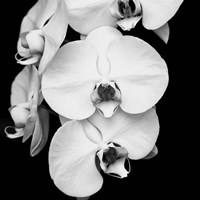 Orchid Portrait I Fine Art Print
