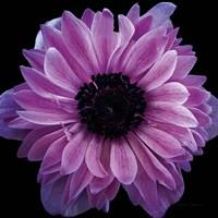 Purple Anemone Crop Fine Art Print