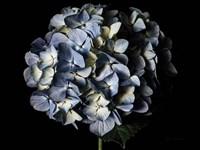 Pale Blue Hydrangea Fine Art Print