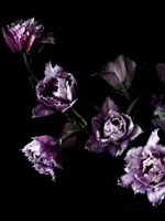 Purple Fringed Tulips III Fine Art Print