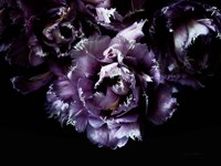 Purple Fringed Tulips II Fine Art Print