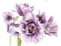 Purple Fringed Tulips I Fine Art Print