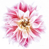 Pink Dahlia Fine Art Print