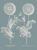 Besler Poppies III Fine Art Print
