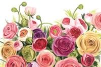 Ranunculus Panorama Fine Art Print