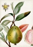 Turpin Tropical Fruit IX Fine Art Print