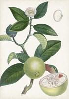 Turpin Tropical Fruit XI Fine Art Print