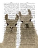 Llama Duo, Looking at You Book Print Fine Art Print