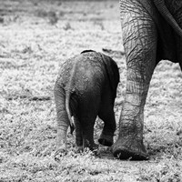 Mama and Baby Elephant II Fine Art Print