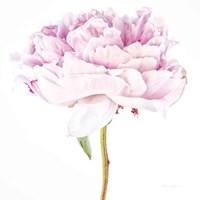 Single Pink Peony Fine Art Print