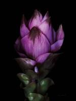 Siam Tulip Fine Art Print