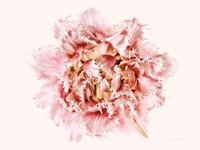 Pink Fringed Tulip Fine Art Print