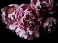 Pink Double Tulips Fine Art Print