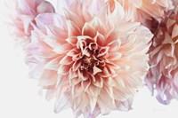 Peach Dahlias Light Fine Art Print