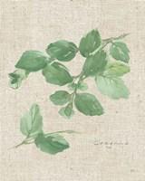 Oregano on Burlap Fine Art Print