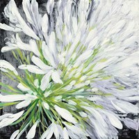 Cleome Splash II Black Fine Art Print