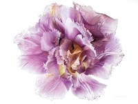Purple Double Open Fine Art Print