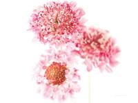 Pink Scabiosa Trio Fine Art Print