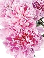 Pink Peony Cluster Fine Art Print