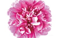 Pink Peony Closeup Fine Art Print