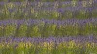 Field of Purple Fine Art Print