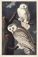 Pl 121 Snowy Owl Fine Art Print