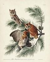 Pl 97 Little Screech Owl Fine Art Print