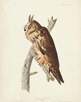 Pl 383 Long-eared Owl Fine Art Print