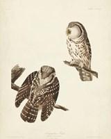 Pl 380 Tengmalm's Owl Fine Art Print
