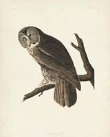 Pl 351 Great Cinereous Owl Fine Art Print